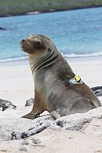 Araldite helps to find out more about young sea-lions